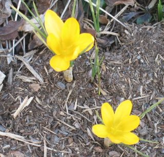IMG_3302 unknown yellow crocus 031107