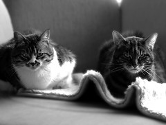 The bouncers (moggierocket) Tags: blackandwhite bw cats cat crazy funny bouncers kedi moppie cc200 cc100 pet100 camfjan08
