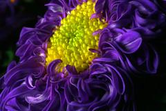 Crazy mum 3167 (casch52) Tags: blue flower color macro 20d water yellow canon photo spring crazy bokeh drop petal mum curly photograph chrysanthemum explorer25 superbmasterpiece familygetty