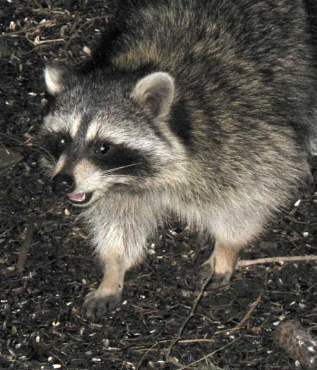 Raccoon tonight