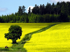 Visit to Mrs. Poodle (:Linda:) Tags: people tractor man tree green field yellow work germany thringen traktor leute village adult path rape thuringia explore gelb landschaft raps canola weg linde rapeseed mensch limetree lindentree thuringian brnn explored lindenbaum erwachsener