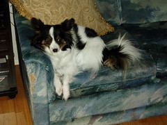 Maxxie relaxing on the couch (PetLvr) Tags: pets papillon maxxie