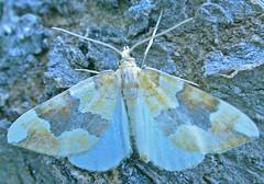 1765-DSCN1417  Barred Yellow (Cidaria fulvata) (ajmatthehiddenhouse) Tags: geometridae larentiinae moth uk kent stmargaretsatcliffe garden barredyellow cidariafulvata cidaria fulvata