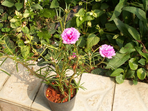 rose moss  flower,ross moss,cosmos flower,moss rose flower pictures,moss rose care,rose moss portulaca,purslane rio rose,rose moss shade,rose moss bulbs,