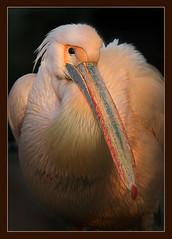 Pelican pin-up (hvhe1) Tags: bird nature animal bravo searchthebest pastel wildlife pelican interestingness10 firstquality outstandingshots specanimal animalkingdomelite hvhe1 hennievanheerden anawesomeshot avianexcellence