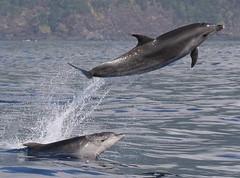 Tursiops Truncatus (PedroMadruga) Tags: ocean sea wild canon mammal 350d dolphin wildlife free pico azores açores golfinho cetacean roaz botlenosedolphin pedromadruga southofpico toninhabrava