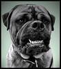 Phantom of the Blackwell (Scottspy) Tags: pets green dogs animals scary bravo funny teeth mastiff 5bestdogs phantom blackwell bullmastiff lonchaney scottspy impressedbeauty superbmasterpiece suberbmasterpiece