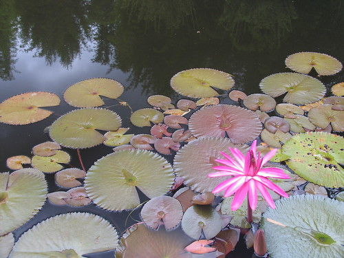 lily pags in Geoff's dam