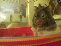 Hey Suey (hendongirl) Tags: food pet cute animal fur rodent furry broccoli whiskers eat hamster hungry paws shovel suey hamsters syrian hammie pocketpet ehammie
