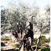 gathsemene-tree