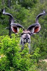Big kudu bull - by Arno & Louise