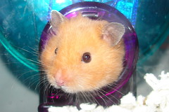 Hey Ami! (Jodi K.) Tags: pet animal golden rodent ami teddybear hamster syrian pocketpet