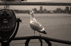 Call of Nature (satosphere) Tags: newyork manhattan seagull southstreetseaport manhattanbridge callofnature sonydslra100
