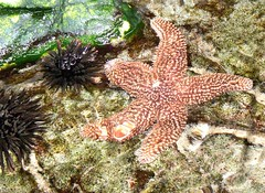 ~Starfish and Sea Urchins~ - by ~Sage~