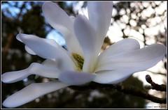 Spring's sweet cantata (reallyreallyrosie) Tags: uk england white flower macro tree beautiful photoshop garden lumix fz20 petals spring soft pretty dof bokeh panasonic devon adobe stamen magnolia orton totnes postprocessing dartington reallyreallyrosie paulawakeham flowerscolor