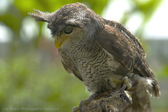 _ mr. tufts, the owl ....  bubo sumatranus - a bird from bali (bocavermelha-l.b.) Tags: tufts 80200mmf28d wildlifephotography tc17eii southchinasea inindonesia tt wildlifesoutheastasia shootingwithd200 inbatubulan onbali barredeagleowl bubosumatranus bubosumatrana malayeagleowl orientaleagleowl beaksandfeathers v grandducbruyant bhomalayo wildlifebali