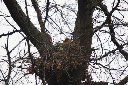 Red Shouldered Hawk on Nest