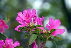 Elberta, flower detail (divemasterking2000) Tags: county pink flowers flower macro nature closeup la march al purple south southern study times baldwin 2007 latimes elberta albama