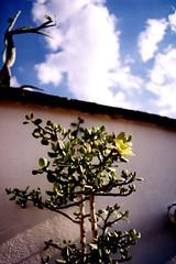 pereskiopsis (hikuri2006) Tags: cactus mexico juan oaxaca giner hikuri pereskiopsis