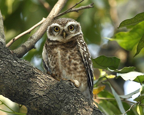 Spotted Owlet,  Athene brama indica by Lip Kee.