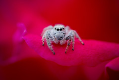 Bitzy Spider's return (chAkA RuLes) Tags: naturaleza macro animal closeup mxico flor natura faves araa len favorita nuevo chaka insecto petalo chilo chila oln qcfaj abimelec salticida araasaltarina pme1