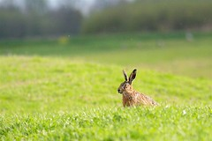 Paashaas - Easter Bunny (webted) Tags: thenetherlands meadow ears easterbunny oren weiland vinkeveen observing paashaas kijken