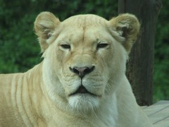White lion female
