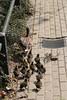 IMG_1596e (A.J. Haverkamp) Tags: amsterdam zoo duck misc thenetherlands mallard eend anasplatyrhynchos artis dierentuin httpwwwartisnl