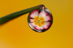 Dewdrop flower refraction #4 (Lord V) Tags: flower macro water dewdrop refraction anawesomeshot colorphotoaward