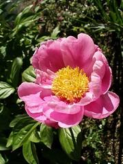 20070420 Pink Volunteer Peony Blossom