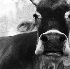 Bovine mostache - by Wen-Yan King