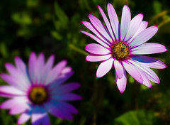 Daisies of the Galaxy (Stefan Elf) Tags: flowers plant blur colour macro closeup daisies petals saturated growth nikkor50mmf2 nikond200 supershot 50mmf2h aplusphoto k1extensionring