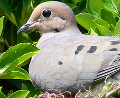 FBI: close up of a mourning dove on the nest (Frozen in Time photos by Marianne AWAY OFF/ON) Tags: birds ilovenature wildlife mourningdove mourningdoves fbi doves allgodscreatures zenaidamacroura ilovephotography featheredfriends fieldguidebirdsoftheworld backyardbirds birdlovers parkstock favorites10 birdsbirdsbirds birdfanatics awesomenature specnature spectacularnature flickrnature birdpix birdpix3daypool mywinners nationalgeographicwannabes mywinnerstrophy anawesomeshot newjerseybirds jerseybirders favoritesbyinterestingness birdfanaticsnolimits mourningdoves42007 birdpix3day dogscatsbirdsanimais mourningdovematernityward birdpixbirdpix3day spiritofphotography nationalgeographiswannabes mourningdovepool