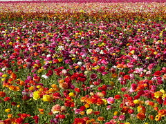 Bed of ranunculus (Ann&Ming) Tags: california flower ranunculus carlsbad soe flowerfields thebigone 3ofakind abigfave shieldofexcellence colorphotoaward superaplus aplusphoto favoritegarden superhearts