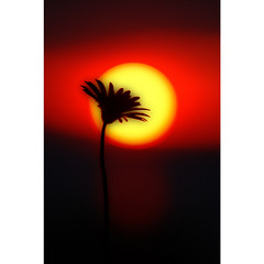 simple but true (DocTony Photography) Tags: light sunset sun plant flower nature silhouette bravo searchthebest blossom gerbera daisy bloom interestingness6 magicdonkey interestingness171 explorefrontpage outstandingshots abigfave colorphotoaward superaplus doctony explore27aoril2007 explore28april2007