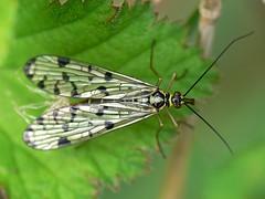 Draycote Meadow 29042007-090 (Walwyn) Tags: insect warwickshire naturesfinest mecoptera panorpa walwyn draycotemeadows