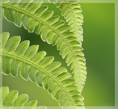 Fern (wendymerle) Tags: fern macro green spring backyard naturesfinest