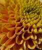 Small Dahlia (Kirsten M Lentoft) Tags: dahlia orange flower macro yellow topc25 searchthebest naturesfinest supershot abigfave superaplus momse2600 top20green kirstenmlentoft