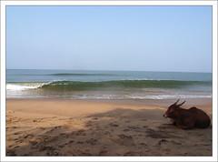 Postcard from Goa (Christian Lagat) Tags: ocean india beach animal cow goa anjuna grdigital plage vache inde भारत ricohgrd