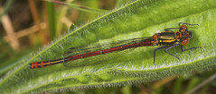 "Large Red Damselfly (Pyrrhosoma nymp(13) • <a style=""font-size:0.8em;"" href=""http://www.flickr.com/photos/57024565@N00/482616499/"" target=""_blank"">View on Flickr</a>"
