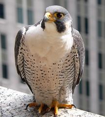 "Peregrine Falcon (""Etienne"")"