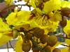 Copperpod (Himanshu  Sarpotdar) Tags: flowers india flower macro nature canon bombay maharashtra mumbai bandra a540 copperpod rustyshieldbearer peelagulmohar flowersbeauty flowerpicturesnolimits