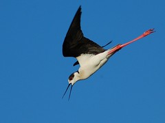 Pernilongo // black-winged stilt (jvverde) Tags: bird portugal nature birds inflight natureza birdsinportugal avesemportugal pssaro aves salinas ave isidro birdwatching pssaros aveiro avifauna wildanimals pernilongo wildbirds himantopushimantopus blackwingedstilt vidaselvagem wildlifephotography featheryfriday emvoo specnature specanimal pernilongos animalkingdomelite superaplus aplusphoto avianexcellence