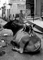 relax (Monia Sbreni) Tags: street bw dog india cane cow strada indian indie varanasi mucca animali biancoenero benares monocrome kow thelittledoglaughed sfidephotoamatori moniasbreni