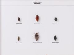Coleoptera Buprestidae (nmbeinvertebrata) Tags: nmbe0093 coleoptera buprestidae polybothriscolliciata polybothrisauriventri polybothriszivetta polybothrisnavicularis sternoceracastanea sternoceracastaneaboucardi exhibition