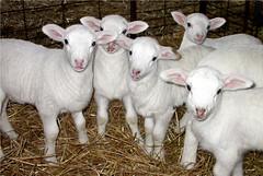 Orphan lambs