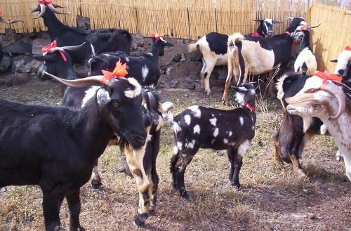 Polkadot Goat