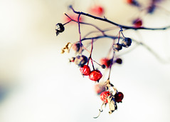Winter's Berries (Todd Klassy) Tags: life winter red snow plant blur cold color colour nature horizontal wisconsin rural dead death frozen vines berry flora day branch berries dof natural bokeh decay background country extreme border theend freezing vine growth cycle grapes environment dried copyspace wilderness agriculture botany twigs monticello horticulture hue wi climate mothernature renewal ending decompose birdfood grapevines stockphotography floweringplant rurallife cycleoflife wildberries redcurrants colorimage ruralscene beautyinnature firstfrost changingseasons coldsnap growingseason viningplants winterinwisconsin lifeinthecountry killingfrost toddklassy averagefirstfrost growingdegreeday