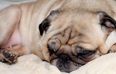 Time for Rest (taminsea) Tags: sleeping dog pet nose paw adorable pug ears fawn resting pugs cocoa bestfriend doggie copyrighted cocoathepug taminsea timeforrest tamelawolff tamelajwolff tamelajwolffphotography