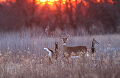 Whitetail at Sunset (Hard-Rain) Tags: trees winter sunset snow game tree animals forest illinois woods hiking wildlife hunting hike deer buck naperville mountainbiking mammals stalk mammalia hunt whitetail deerhunting whitetailed whitetaileddeer odocoileus odocoileusvirginianus napervilleillinois cervidae chordata artiodactyla explore25 springbrookprairie